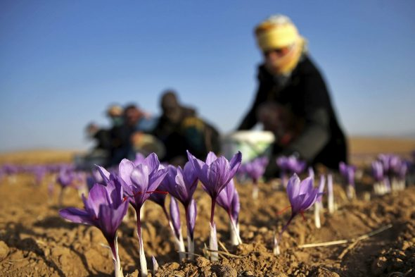 How to plant saffron corms