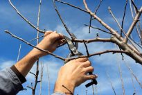 walnut pruning practices