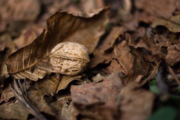 walnut harvesting