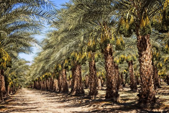 How Many Dates Does a Date Palm Produce