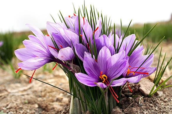 Growing and Harvesting Saffron Crocus Sativus