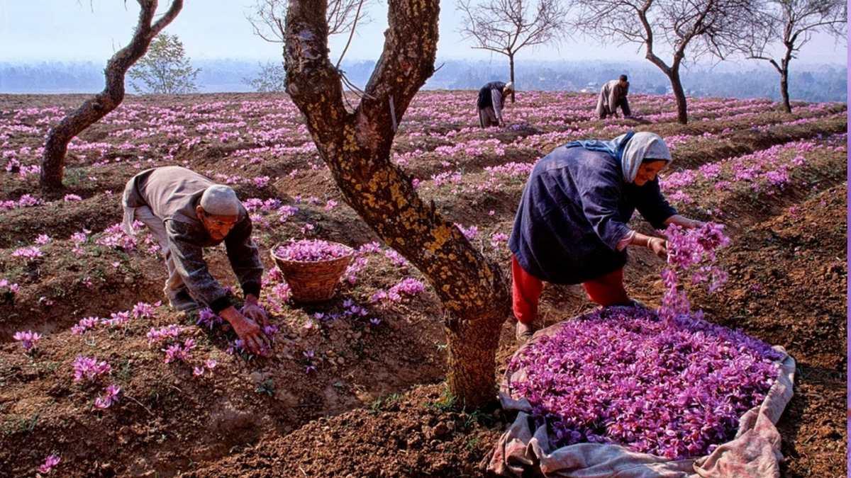 Kashmiri & Iranian saffron comparison