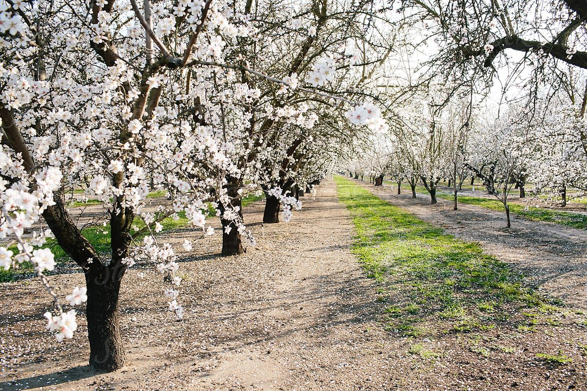 almond bloom   What is almond syrup and what are the benefits