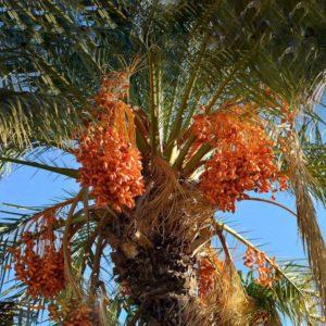 Iranian Date Cultivation