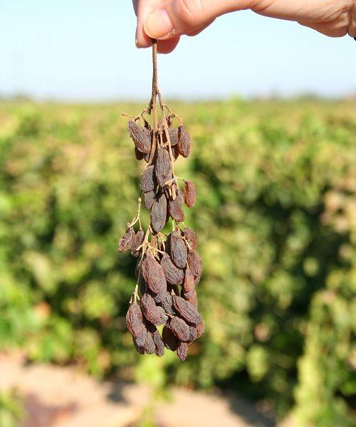 The first raisins - history of raisin