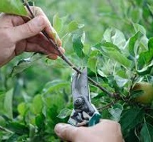 Pruning and Irrigation fig trees