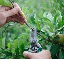 pruning fig