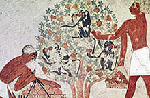 fig history