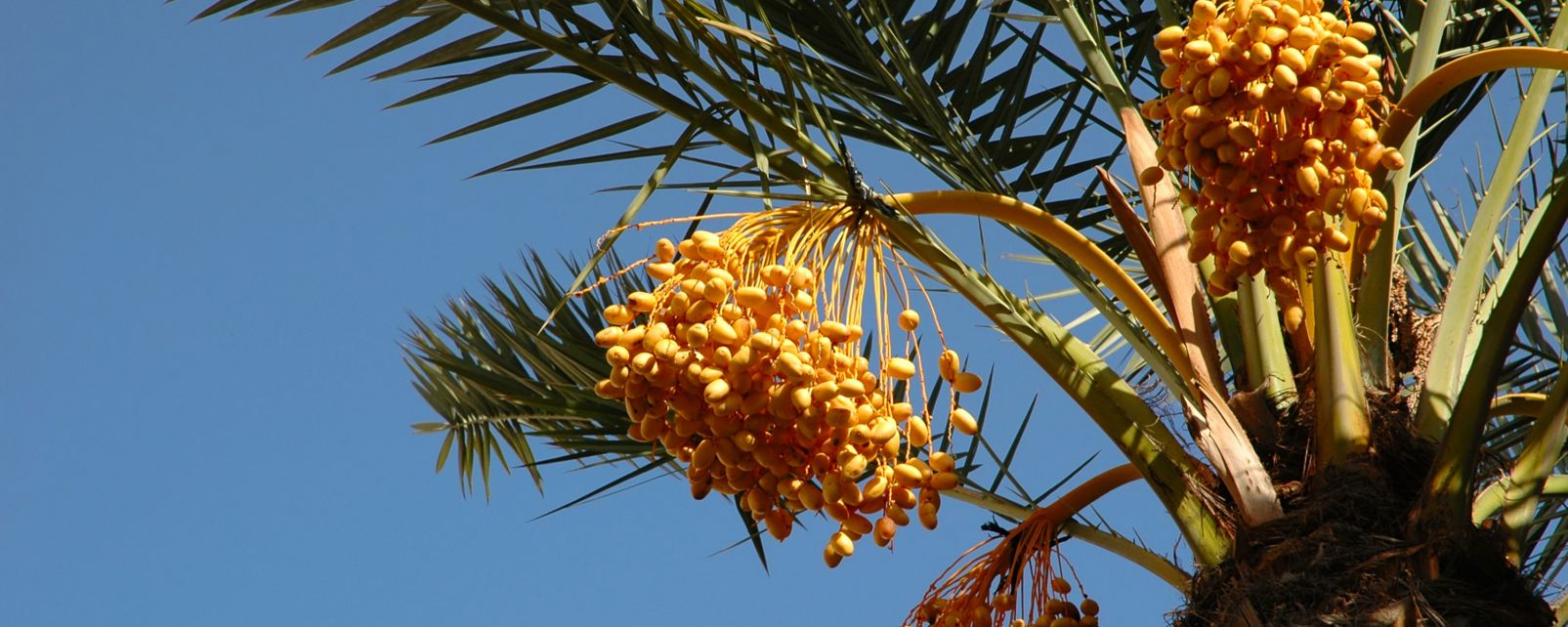 Date Palm Trees Fruiting