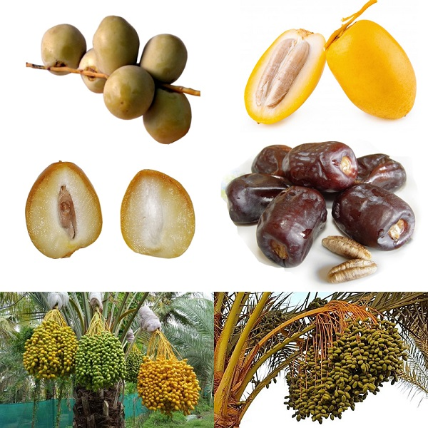 What Fruit is a Date before it is dried?
